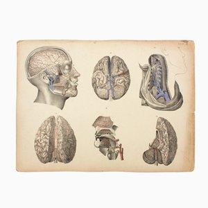 Póster educativo sobre el cerebro de M. J. Weber, 1830
