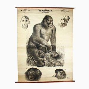 Póster sobre los vertebrados de Rudolf Leuckart, 1885