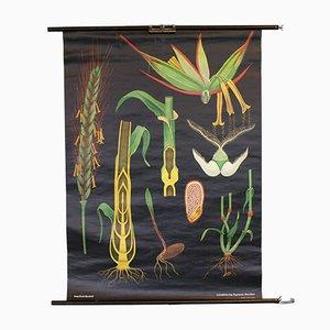 Vintage Getreide Schulwandkarte von Lehrmittelverlag Hagemann
