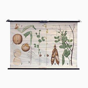 Cartellone educativo vintage con pianta di piselli di Chr. Cato