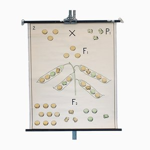 Vintage School Wall Chart Depicting Pea Pods from Verhave Hilversum