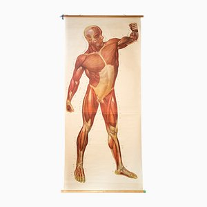 Muscles of the Human Body Wall Chart from Deutsches Hygiene Institute, 1948