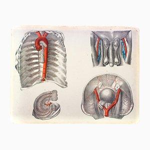 Cartellone sull'anatomia del corpo umano di M. J. Weber per Arnz & Company, 1830