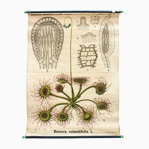 Sundew Drosera Wall Chart by Leopold Kny for Paul Parey, 1874