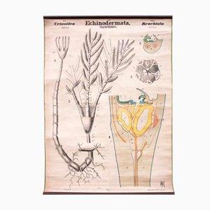 Antike Echinodermata Schulwandkarte von Rudolf Leuckart, 1879