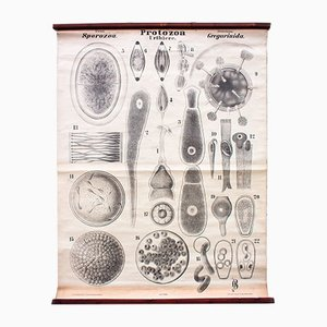 Antique Protozoa Wall Chart by Rudolf Leuckart, 1879