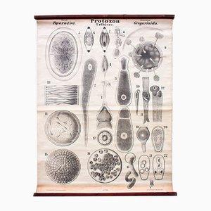 Póster antiguo de protozoos de Rudolf Leuckart, 1879