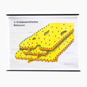 Endoplasmatisches Retikulum Wall Chart by Dr. H. Kaudewitz for Westermann, 1968