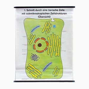 Tierische Zelle Lehrtafel von Dr. H. Kaudewitz für Westermann, 1968