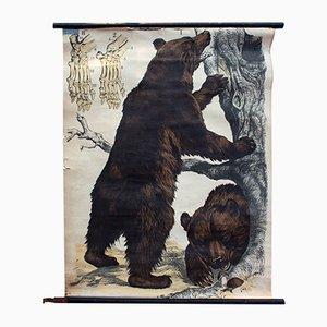 Litografia di orso bruno di J.F. Schreiber, 1893