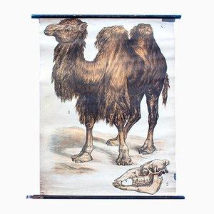 Litografia di un cammello con due gobbe di J. F. Schreiber, 1893