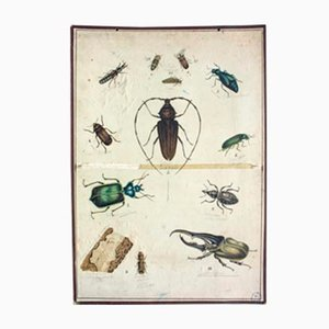 Beetle Educational Lithograph, 1893