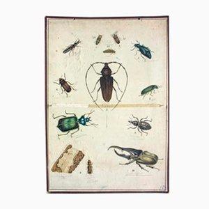 Litografía educativa con escarabajo, 1893