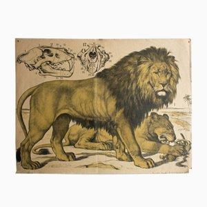 Löwe Lithografie von J. F. Schreiber, 1889
