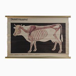 Póster de la anatomía de la vaca de Volk und Wissen, 1982