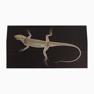 Póster anatómico de la lagartija, 1987
