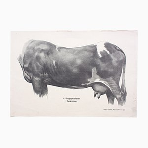Anatomie of Cows Wall Chart by Dr. G Pusch for Paul Parey, 1901