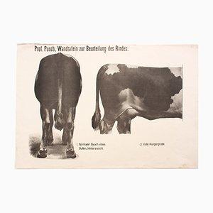Anatomie der Kuh Lehrtafel von Dr. G. Pusch für Paul Parey, 1901