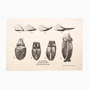 Stampa anatomica di mucche di Dr. G. Pusch per Paul Parey, 1901