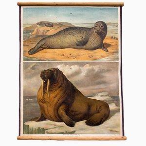 Tableau Mural Phoque & Lion de Mer par Th. Breidwiser pour Carl Gerolds Sohn, 1879