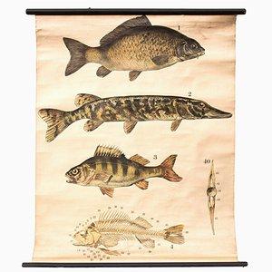 Fisch Wandkarte von Franz Engleder für J. F. Schreiber, 1893