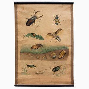 Póster con litografía del escarabajo, 1914