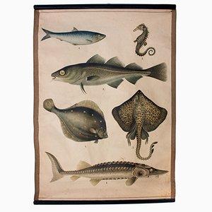 Póster educativo con peces, 1914