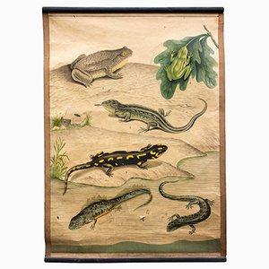 Póster escolar con amfibios, 1914