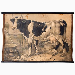 Póster educativo de vaca de C. C. Meinhold & Söhne, 1891