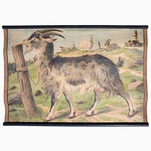 Póster educativo con cabra de C. C. Meinhold & Söhne, 1891