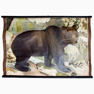 Póster educativo con oso de C. C. Meinhold & Söhne, 1891