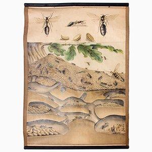 Póster educativo de una colonia de hormigas, 1914