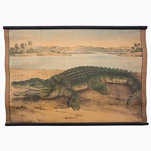 Tableau Éducatif Crocodile par C. C. Meinhold & Söhne, 1891
