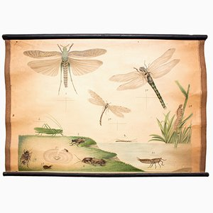 Dragonfly Educational Chart by C. C. Meinhold & Söhne, 1891