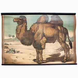 Póster educativo con litografía del camello de Karl Jansky, 1897