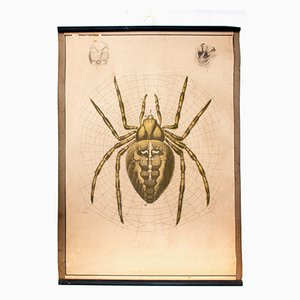 Goldene Spinne Lithographie Lehrtafel von Karl Jansky, 1914