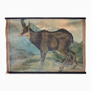 Litografía de la cabra montesa de Karl Jansky, 1897