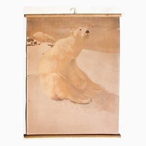 Eisbär Lithografie Lehrtafel von Karl Jansky, 1914