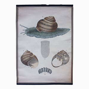 Póster educativo con litografía del caracol de Karl Jansky, 1897