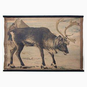 Póster educativo con litografía de un reno de Karl Jansky, 1897