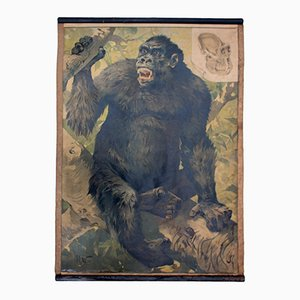 Stampa educativa vintage di un gorilla, 1891