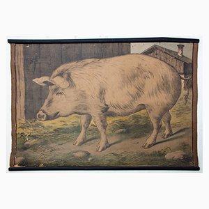 Póster educativo con litografía del cerdo de Karl Jansky, 1897