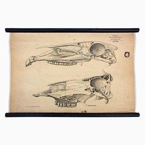 Litografia di teschio di animale di Hermann von Nathusius, 1858