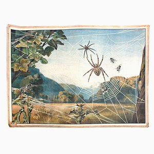 Spider Educational Chart from Meinolds Wandbilder, 1918
