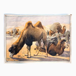 Camel Educational Chart, 1891