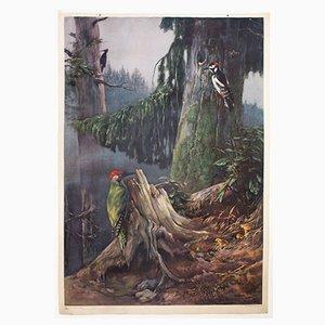Póster educativo del pájaro carpintero de F. Zerritsch, 1954