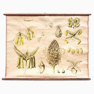 Biologie der Blüte Lehrtafel von Ross & Morin für Eugen Ulmer, 1900er