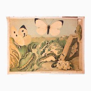Póster educativo con mariposa de la col, 1910