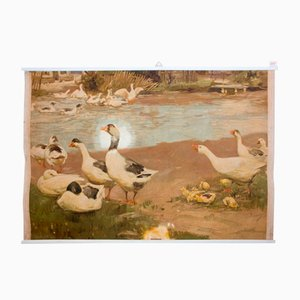 Educational Wall Chart of Ducks, 1910