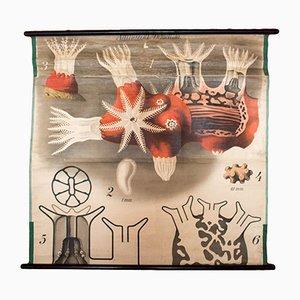 Vintage Korallen Schulwandkarte von Paul Pfurtscheller für Martinus Nijhoff, 1920er